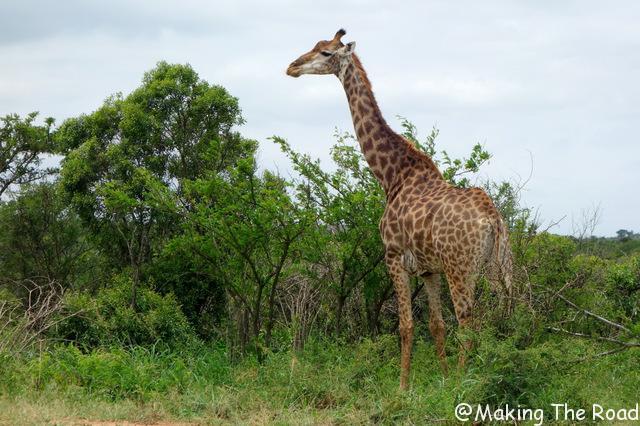 road trip afrique du sud 3 semaines Hluhluwe Umfolozi safari voir des girafes hebergement