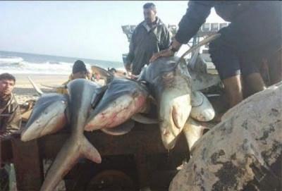 Kisah Nyata: Allah Kirim Ratusan Ikan Hiu Untuk Warga Gaza