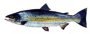 somon Türkiye'deki balık çeşitleri nelerdir?