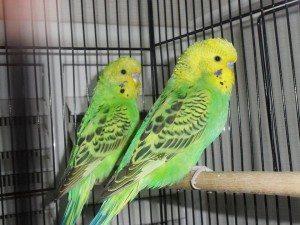 Yavru Muhabbet Kuşları, Yeşil muhabbet kuşu, Muhabbet kuşum, çekoslavak muhabbet kuşu, Muhabbetimiz Muhabbet Kuşları