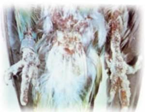Ayaklarda Mantar Hastalığı Kafes Kuşlarında Mantar Hastalığı