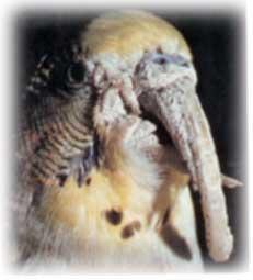 ayak goz gaga - Kafes Kuşlarında Mantar Hastalığı