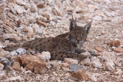 lynx-lynx-vasak Vaşak (Lynx lynx)