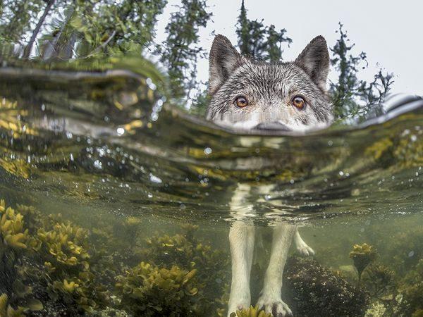 sea-wolf-water_92236_600x450 2015 Yılı National Geographic