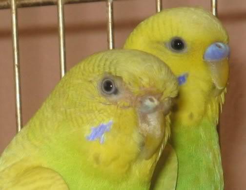 -gaga2- Muhabbet Kuşları Hakkında