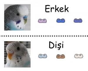 muhabbet-kus-cinsiyet- Muhabbet Kuşları Hakkında
