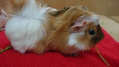 Abessian-guinea-pig-bakimi