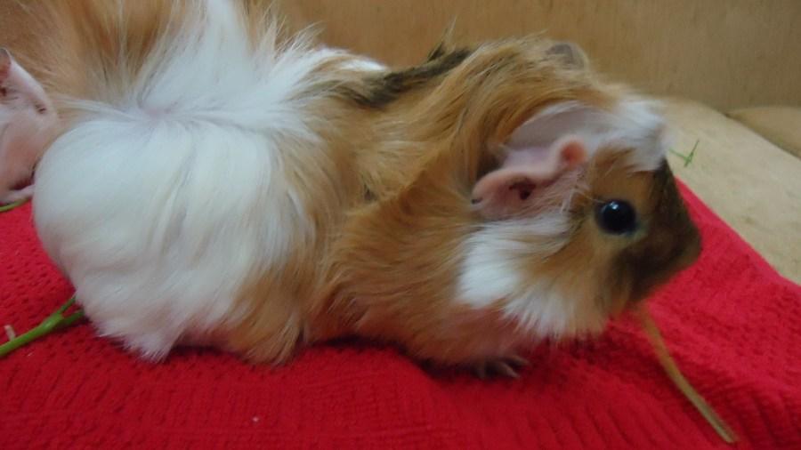 Abessian Guinea Pig Bakımı Nasıl Olmalıdır?