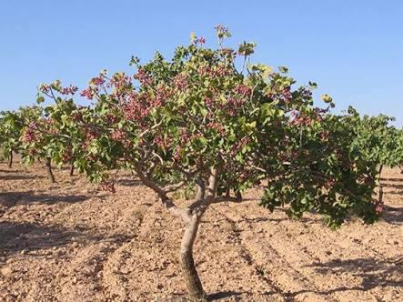 Antep Fıstığı Ağacı Kaç Yılda Yetişir?