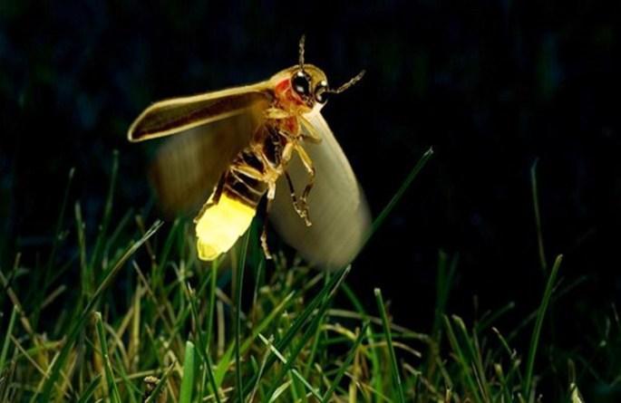 Siz Hiç Ateş Böceği Gördünüz Mü ?