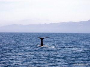 Sperm whale Kaikoura