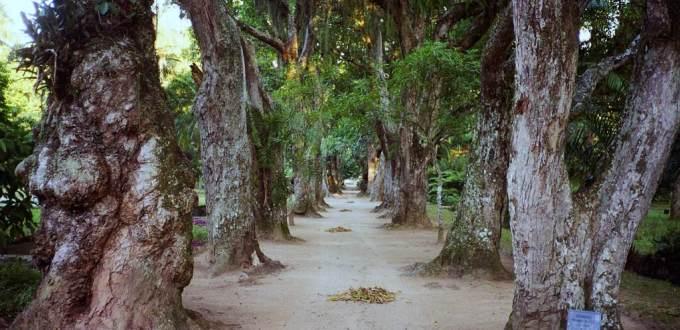 Rio Botanical Garden Mango trees