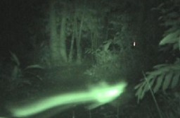 Slow shutter video recording will produce a ghostly visual yet insect has its very own prominent signature to signify its visual appearance captured on slow shutter video camera.