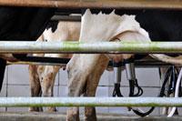 Desa Dairy Farm, Mesilau Highland, Kundasang - Sabah Attraction