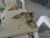 ginger-tabby-kitten