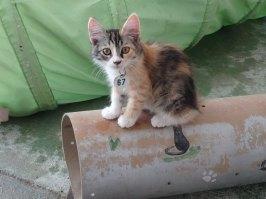 kitten-67-tortie-white