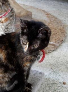 kitten-185-brindle