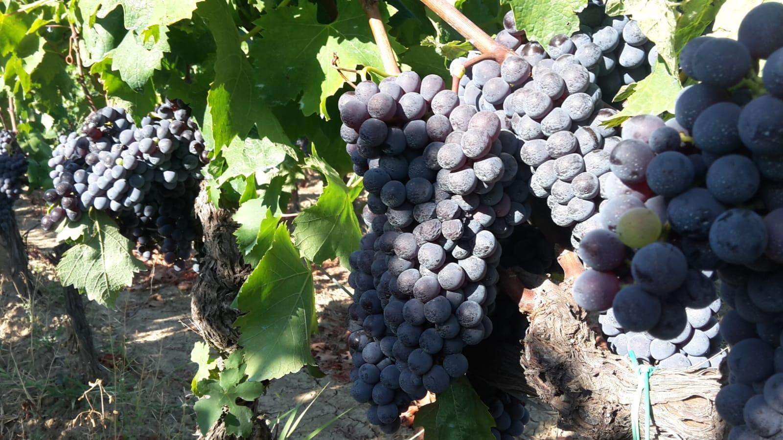 Il vitigno Gaglioppo e i suoi vini