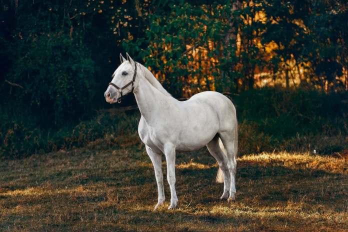 Hvid hest i skoven