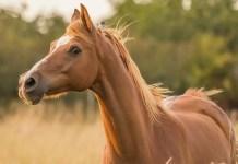 Stresset hest