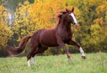 Rød hest efterår