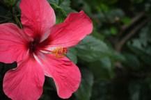 Hibiskus auf La Reunion