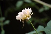 India_2012_3085_Rose