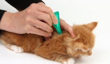 Cara Menghilangkan Kutu Kucing