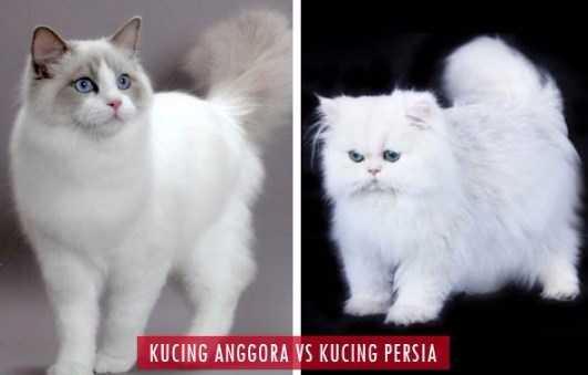 Perbedaan Kucing Anggora dan Kucing Persia