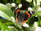 Orangenblüten mit Schmetterling Cala Ratjada