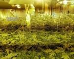 Fette Marihuana-Plantage ausgehoben