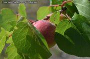 Aprikosenproduktion sinkt in Porreres um 75% im Vergleich zum Vorjahr