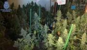 """Zwei Marihuana-Plantagen mit über viertausend Pflanzen in Palma """"ausgehoben"""""""
