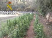 Guardia Civil entdeckt Marihuana-Plantage zwischen Inca und Llubí