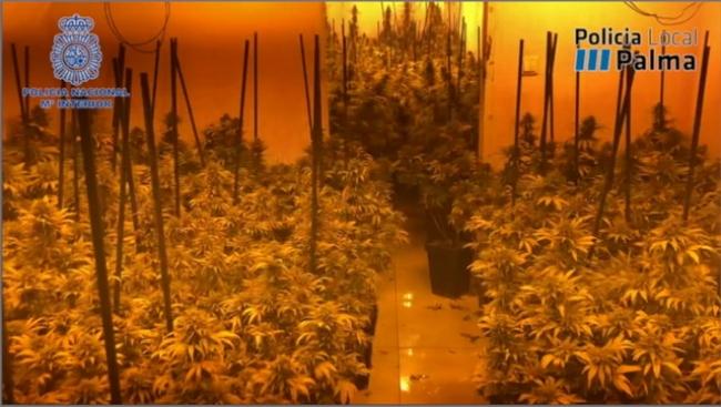 Marihuana-Plantage in Palma ausgehoben