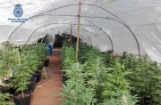 Gewichtiger Punkt des Marihuana-Anbau in Sencelles ausgehoben