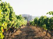 """18% der """"Weinberge"""" mit Herkunftsbezeichnung werden in diesem Jahr keine Trauben ernten"""