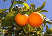 Sonnengereifte Mallorca-Orangen