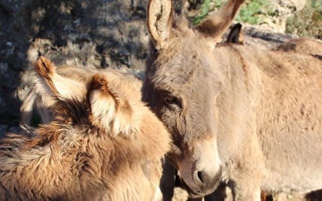 Vor der Esel-Attacke