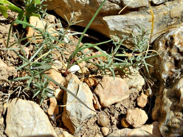 eine endemische Pflanze auf der Insel Cabrera