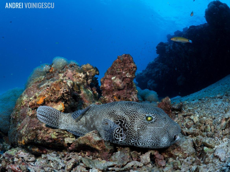 Go-dive-Andrei-Voinigescu-pufferfish