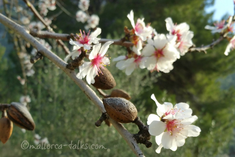 Mallorca mit Mandelblüte