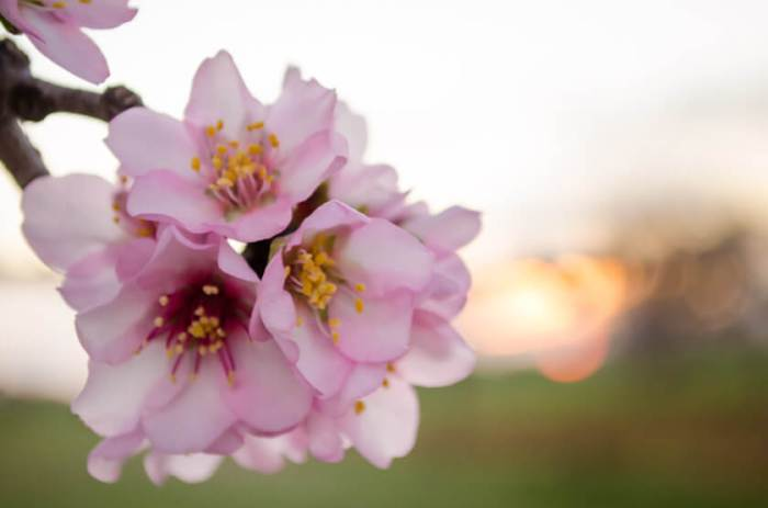 Die Mandelblüte auf Mallorca 2020