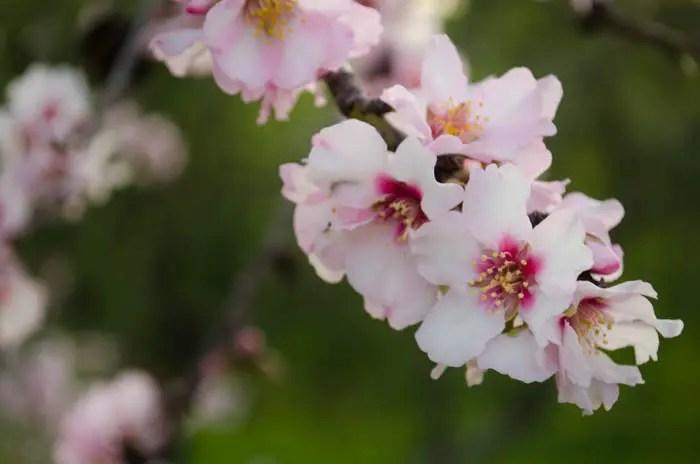 Mandelblüten auf Mallorca