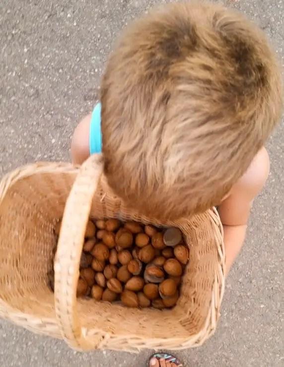 Mallorquinische Mandeln ernten - Mallorca für Kinder