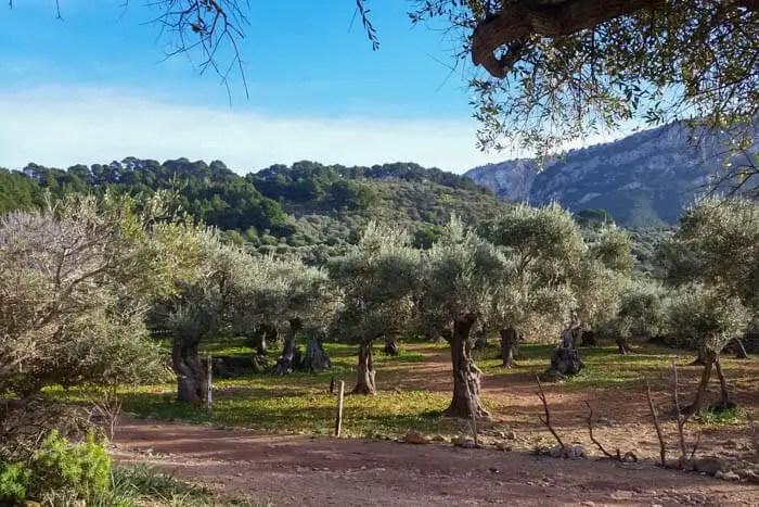 Olivenbäume in Deia