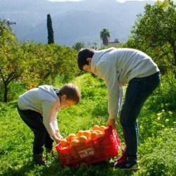 Orangen aus Mallorca Ernten in Soller