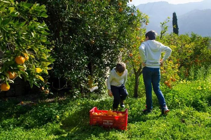 Orangen ernten auf Mallorca