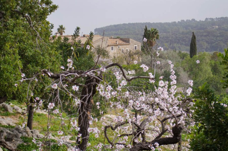 Mandelblüte auf Mallorca: Binibona