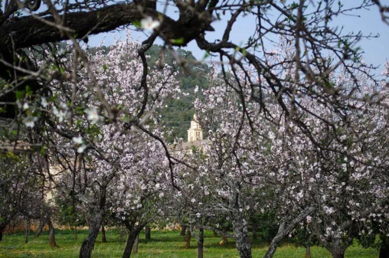Mandelblüte in Caimari